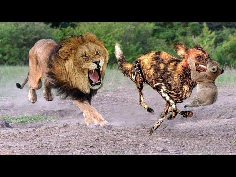Падение ЛЬВОВ?  лев против диких СОБАК разразилась война Лучшая атака животных