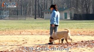 Lab Puppy Amazing Before And After Off Leash K9 Training New Jersey