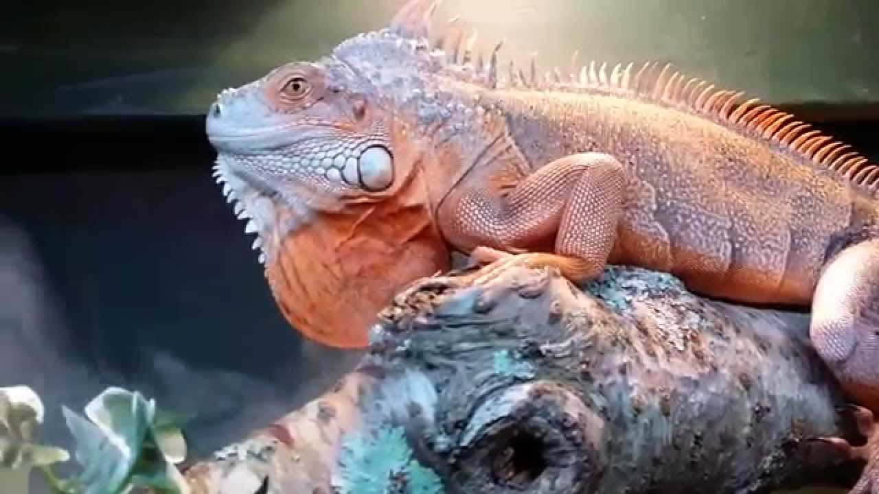 100 Full Red Iguana Princess Goose Youtube
