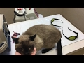 My Cat Gets High Tech Laser Treatment at the Vet!