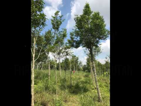 GROUP 1 (FHP 3105 SILVICULTURE SYSTEM) - Video 1 Establishment of Plantation