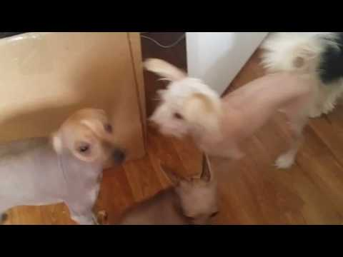 Funny Chinese Crested dogs being silly, being 'ugly' lol