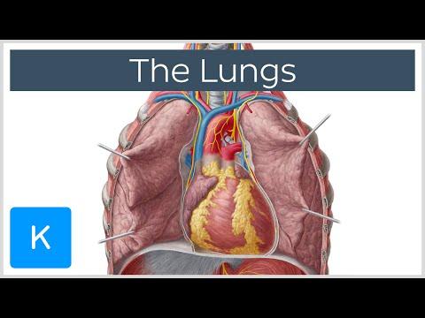 Lungs - Definition, Anatomy and Location - Human Anatomy |Kenhub