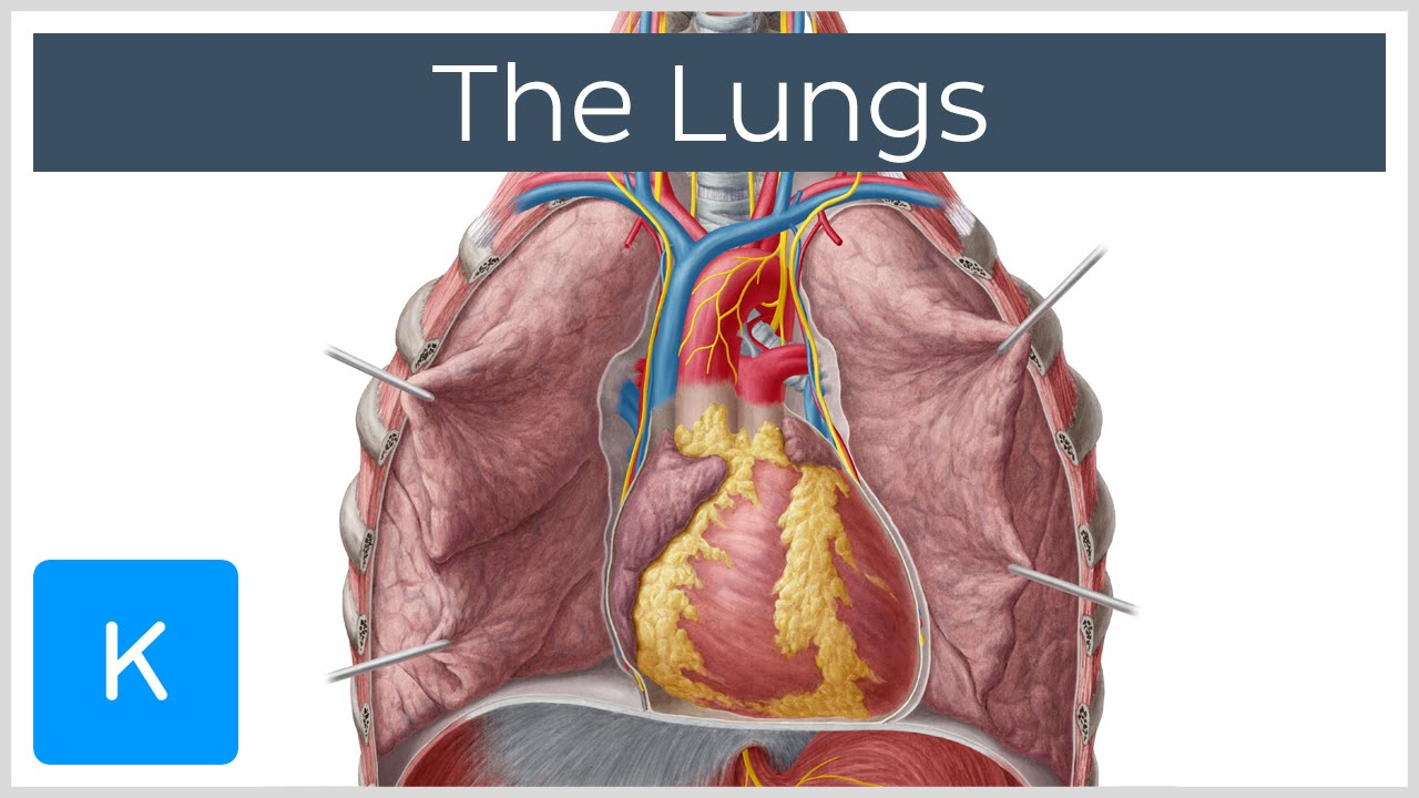 Lungs: Definition, Location & Structure - Human Anatomy | Kenhub ...