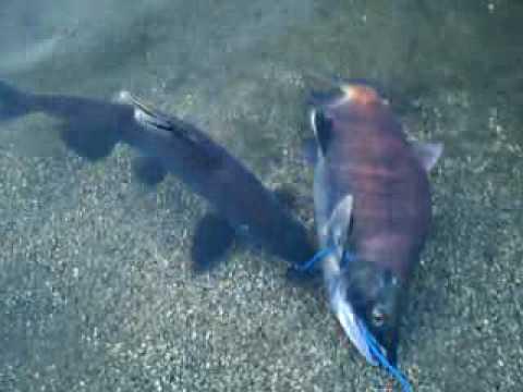 Two nice kokanee salmon i caught at shaver lake youtube for Shaver lake fishing report