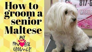 How to groom a senior maltese