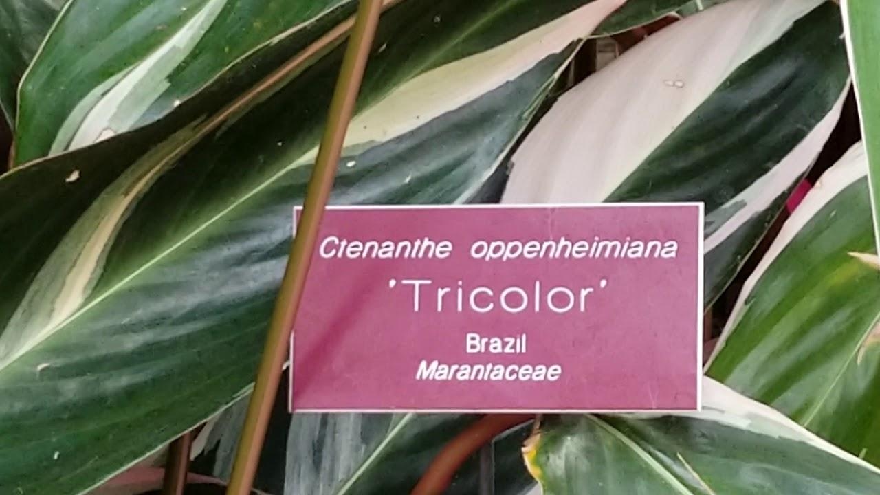 CTENANTHE OPPENHEIMIANA 'TRICOLOR' - BRAZIL MARANTACEAE ...