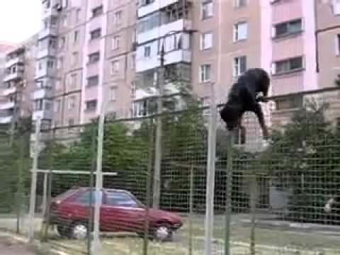 Rottweiler Jumps A Very High Fence Youtube