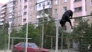 Rottweiler Jumps A Very High Fence !