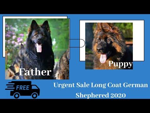 urgent-sale-long-coat-german-shepherd-|-german-shepherd-dog-by-dogsbreedofficial-2020
