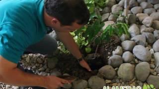 Pasos para sembrar un árbol