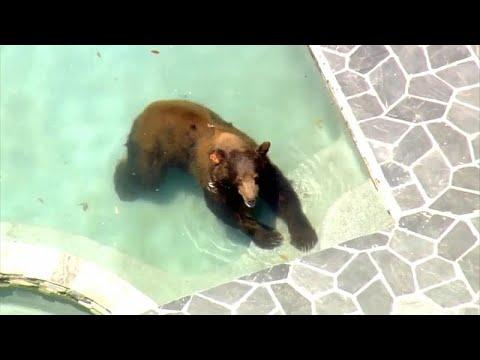 شاهد: دب شارد يستحم في بركة سباحة منزل فاخر في كاليفورنيا…