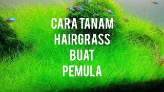 Download Cara menanam hairgrass di aquascape