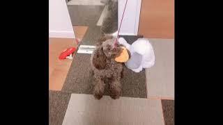 釣り竿のオモチャで あくびちゃん釣れましたw エサは、ヒヨコちゃんw   トイプードル 女の子 ペット 犬.