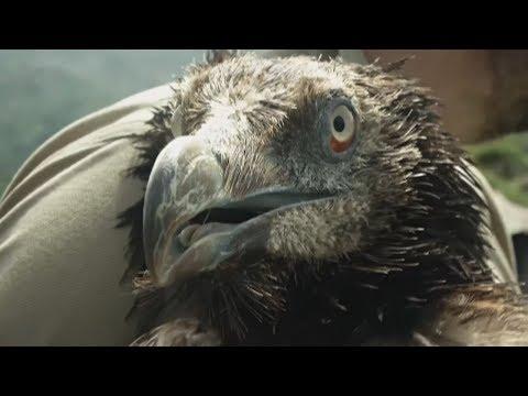 Редких птиц вида бородач успешно разводят в Испании