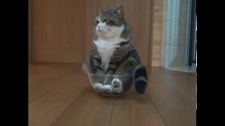 Смешной кот в миске
