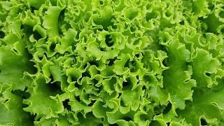 Нови сортове  салати от СИНДЖЕНТА