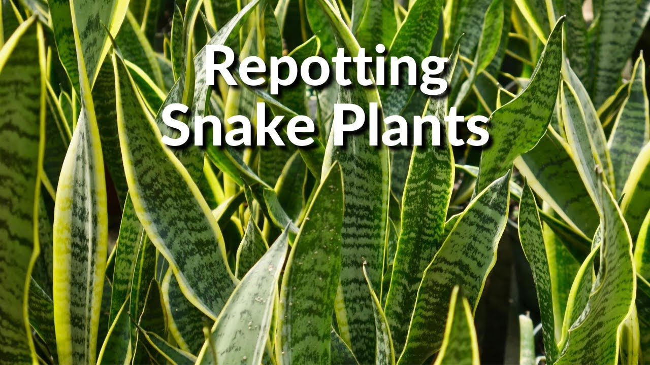 Repotting Snake Plants The Mix To Use How To Do It Joy Us