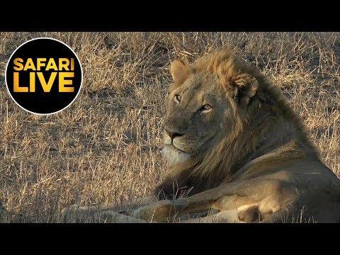 safariLIVE - Sunset Safari - August 23, 2019