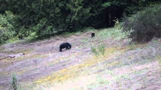 Black Bear with Blue head near Silvermere Lake is Mission, BC
