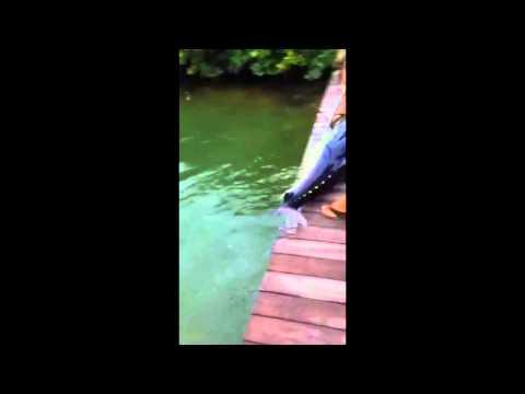 100 Pound tuna free gaffed off dock in islamorada