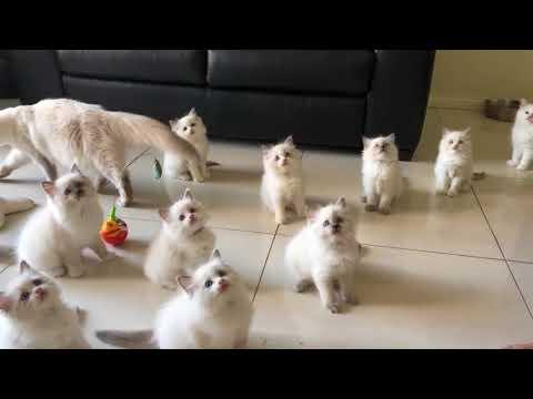 Cutest baby kittens (Ragdolls)
