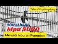 Nagen Rol Pukul Aksi Murai Batu Mpu Suro Menjadi Hiburan Penonton Di Tidar Sf Cup  Mp3 - Mp4 Download