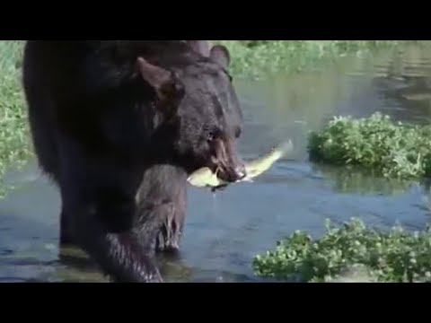 Bear And Otter Fishing Lesson | Big Sky Bears | BBC