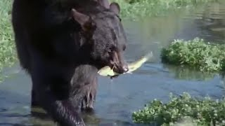 Bear and Otter Fishing Lesson | Big Sky Bears | BBC