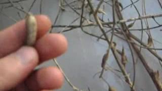 How to Save Radish Seeds