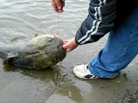 Catfish huge fish on mississippi river youtube for Mississippi river fish