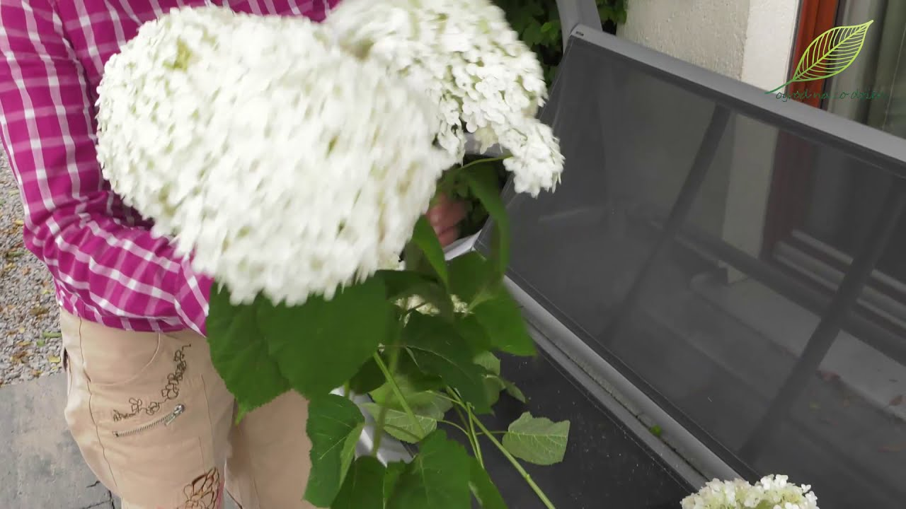 Hortensja Suszenie Kwiatostanow Hortensji Youtube