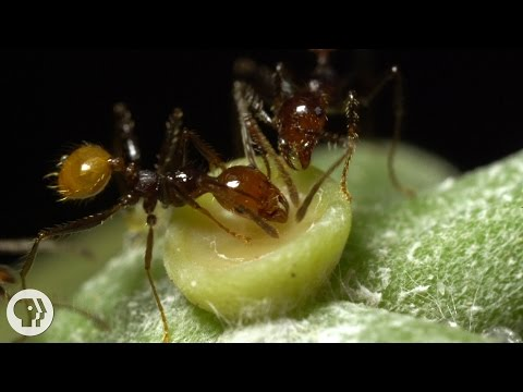The Double-Crossing Ants to Whom Friendship Means Nothing   Deep Look