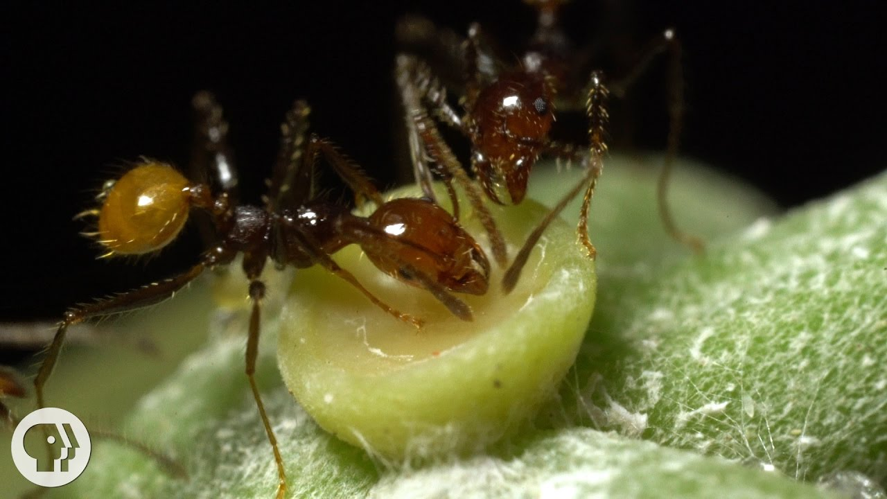 The Double-Crossing Ants to Whom Friendship Means Nothing | Deep Look