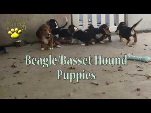 Beagle-Basset Hound Puppies