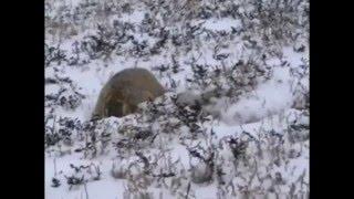 Охота манула Pallas cat hunting