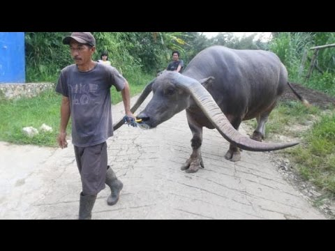 SUPER ..!!! Kerbau langka Toraja Sulawesi Selatan bertanduk paling besar dan istimewa