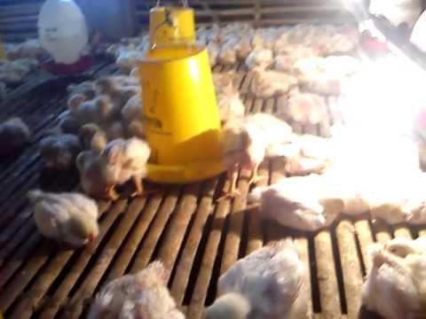 Cara Ternak Ayam Broiler Organik - YouTube