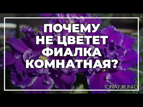 Вопрос: Почему фиалка в горшке не хочет цвести?