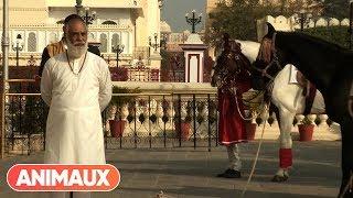[DOCU] Cheval  Marwari  la renaissance du prince des Indes - Animaux