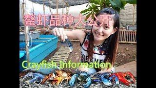 Crayfish螯虾大公开 papua crayfish Variety species intro印尼螯蝦