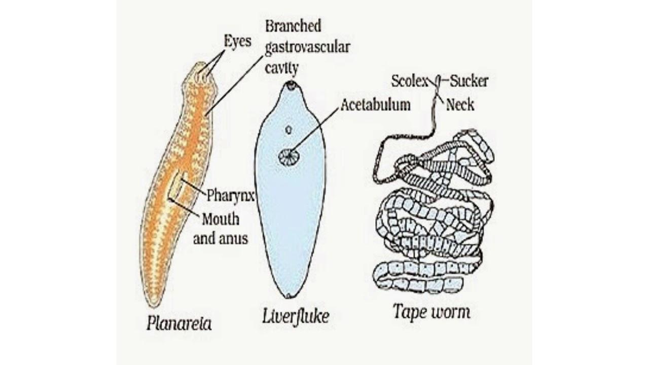Ppt platyhelminthes és nemathelminthes, Platyhelminthes nemathelminthes ppt - dadam.hu