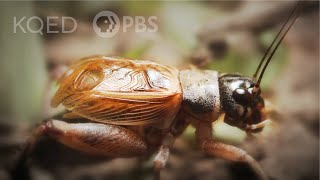 crickets-use-their-wings-to-sing-deep-look