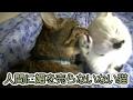 人間にはスリスリしてくれない猫フク姫(面白い&可愛い猫)