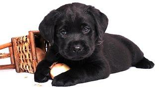 Собака в доме. Милее милого - Щенок лабрадора. Puppy Labrador(Самые замечательные создания на этой планете это щенки. Посмотрим вместе, ведь уровень любви на этом видео..., 2014-10-26T10:20:49.000Z)