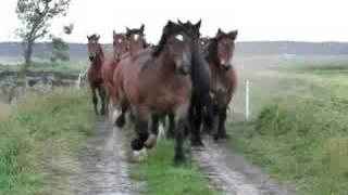 konie zimnokrwiste i belgijskie