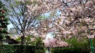 上落合公園の八重桜