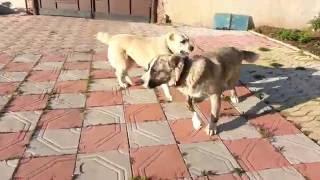 Новый вольер для собак. Игры алабаев