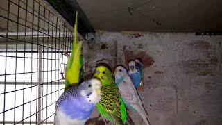 видео Готовность птиц к размножению
