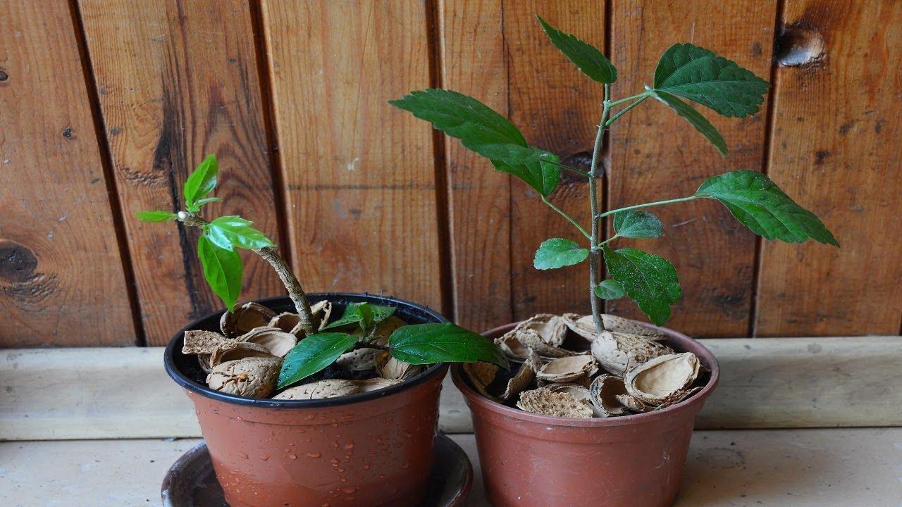 Гибискус - китайская роза. Размножить черенками и семенами!